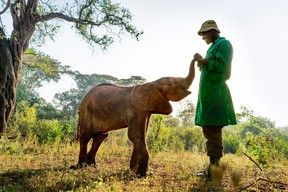 A young orphaned elephant with his keeper at The David Sheldrick Wildlife Trust's Nairobi nursery in Kenya, Africa.