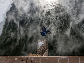 A pigeon flies over steam rising from the South Saskatchewan River as temperatures dipped below -30C in Saskatoon on Jan. 25, 2021.