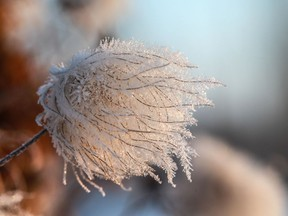 Ice crystals form on a plant at Patterson Garden
