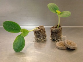 Two-week-old pumpkin transplants growing in jiffy 7 peat pellets and ready to plant out in late May.