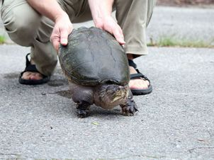 Drivers Urged To Give Turtles A Brake The Kingston Whig Standard