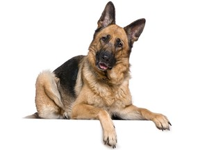 A German Shepherd named Buddy (not pictured) from Staten Island has become the first dog in the U.S. to die of COVID-19.