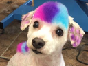 Nicole Rose, co-owner of the Fur-Ever Loved Pet Salon in Kitchener, Ont., uses dog-approved, harmless dye to colour her pooch Stella's coat and the trend has caught on with other pet owners who ask to have their dog's hair dyed. (Instagram)