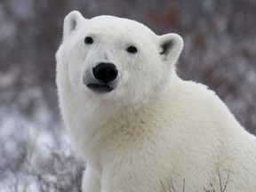 A polar bear poses for the camera as he waits for the Hudson Bay to freeze over near Churchill, Man. Wednesday, Nov. 7, 2007. (The Canadian Press/Jonathan Hayward)