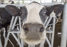 A dairy cow is seen at a farm Friday, August 31, 2018 in Sainte-Marie-Madelaine Quebec. THE CANADIAN PRESS/Ryan Remiorz ORG XMIT: RYR111