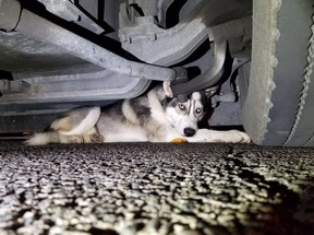 A Husky took refuge under a TTC bus after being hit by a car hit by a car around 12:30 a.m. Sunday near Eglinton Ave. E. and Warden Ave. (TOAnimalService/Twitter)