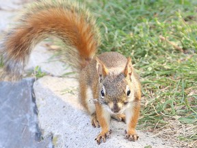 Prince Charles loves red squirrels like the one, seen in this file photo. (Gino Donato/Sudbury Star/Postmedia Network)