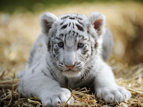 A six-week-old white tiger baby sits in its enclosure on April 21, 2010 at the Serengeti-Park in Hodenhagen, northern Germany.