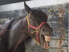 Somebody's excited for the new $1-million race for two-year-old trotters at Mohawk on Sept. 26 (MICHAEL BURNS/File photo)