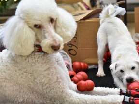 In this Dec. 11, 2019 file photo, Nebbia sits beside the KONG toys as Chef plays with them at the event where the toys are delivered to VCA Canada Western Vet for dogs fighting cancer in Calgary. (Azin Ghaffari/Postmedia Network)