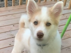 Prince, a five-month-old Pomeranian/husky mix, is missing after a car theft.