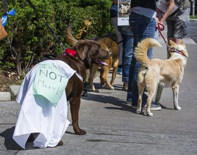 Lola, a Chocolate Lab wearing a sign, joins people demonstrating against the annual dog meat festival held in Yulin,, China,  in front of Chinese Consulate in Toronto, Ont. on Saturday, June 11, 2016.