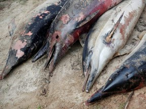 Bodies of dolphins, which were found dead on beaches, are stored for scientific autopsies at the municipal technical services in Barbatre on the Noirmoutier Island, France, Feb. 11, 2020.