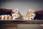Toronto Zoo red panda Ila and her mate Suva are new parents.