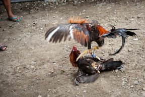 A police officer in the Philippines was killed during a raid on an illegal cockfight den after a rooster's blade sliced his femoral artery, an official said Tuesday.