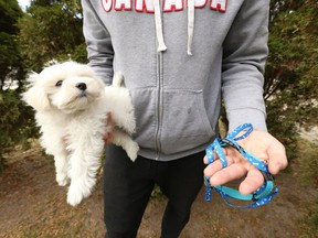 A Mississauga man, who is a dog breeder, was robbed of a a nine-week old Maltese Poodle mix at gunpoint by two men on Monday night in the driveway of his Lakeshore Rd. W. home. The man holds up a nine-week old female dog wants to remain anonymous on Thursday November 19, 2020.