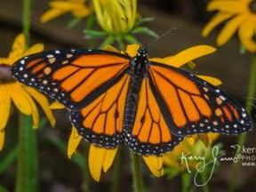 Monarch butterflies are reportedly near extinction.
