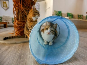 A cat is seen at the Ailuromania Cat Cafe, where customers can relax among purring felines or adopt a stray cat in Dubai, United Arab Emirates Feb. 24, 2021.