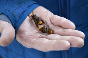 A Washington State Department of Agriculture worker holds two of the dozens of Asian giant hornets vacuumed from a tree in Blaine, Wash. in October.