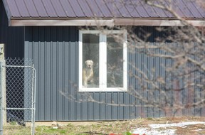 A dog looks out the window of a home in Southwest Middlesex on Friday April 2, 2021. Police are still on scene at 6422 Gentleman Dr. a day after emergency crews were called to the address after receiving a report of the death of a person. Three dogs linked to a teen girl's death have been seized by authorities. (Derek Ruttan/The London Free Press)