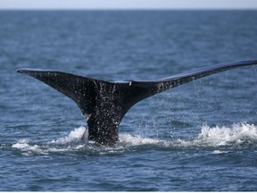 A North Atlantic right whale appears at the surface of Cape Cod bay off the coast of Plymouth, United States on March 28, 2018.