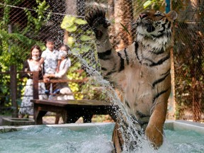 A tiger plays in water at a tiger zoo in Chaing Mai, Thailand March 31, 2021. Picture taken March 31, 2021.