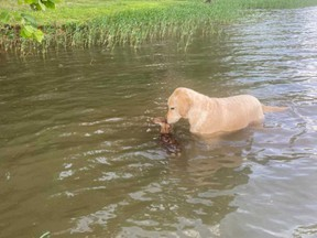 Goldendoodle Harley is pictured helping guide a fawn in a lake back to the shore in a Facebook post shared by Ralph Dorn.