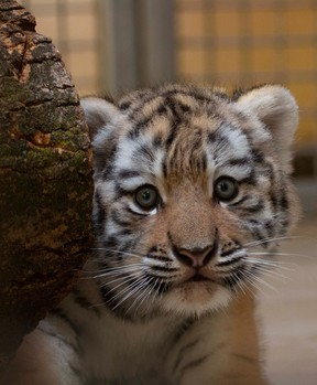 The Toronto Zoo released a picture of its baby Amur Tiger in July. Tigers are among the animals slated to receive COVID vaccine.