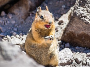 Close up of angry chipmunk; Lassen Volcanic Park National Park, Northern California