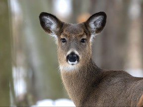 A white-tail deer is pictured in a file photo.