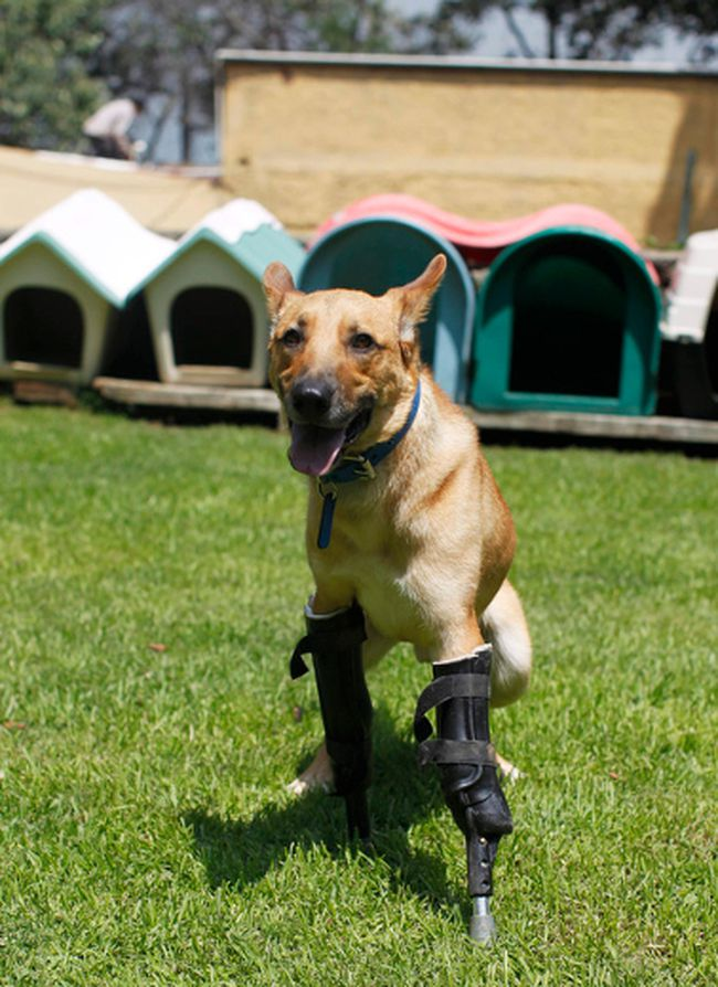 A dog named Pay de Limon is seen fitted with two front prosthetic legs at Milagros Caninos rescue shelter in Mexico City August 29, 2012. Members of a drug gang in the Mexican state of Zacatecas chopped off Limon's paws to practise cutting fingers off kidnapped people, according to Milagros Caninos founder Patricia Ruiz. Fresnillo residents found Limon in a dumpster bleeding and legless. After administering first aid procedures, they managed to take him to Milagros Caninos, an association that rehabilitates dogs that have suffered extreme abuse. The prosthetic limbs were made at OrthoPets in Denver, U.S., after the shelter was able to raise over $6,000. REUTERS/Tomas Bravo