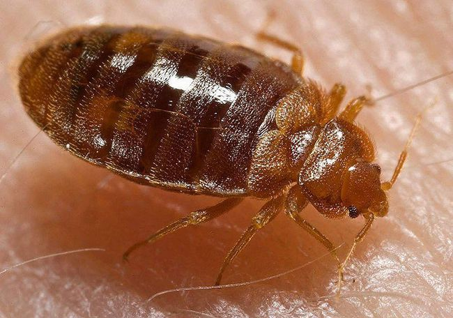 Bed bugs. (File photo)