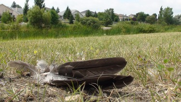 Feathers and tire tracks can be seen at Willowlake Par in south Winnipeg on Wednesday, July 20, 2011. Several Canada geese were run over by a car at the park the previous day. Three goslings were killed. (Jillian Austin, Winnipeg Sun)
