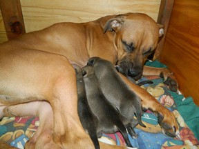 A boxer dog and her five remaining pups rest in a crate at the Valley Boxer Rescue organization. The mother, who was birthing, was abandoned in a truck outside the Gatineau SPCA shelter overnight Saturday. Five pups froze to death in -22C temperatures before she was found and rescued. (Photo courtesy Valley Boxer Rescue)