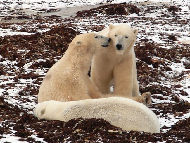 """Three polar bears await """"freeze-up"""" near Churchill, Man. When temperatures get low enough, the bears will move onto offshore ice to hunt seals. JOHN M. SMITH/Special to QMI Agency"""