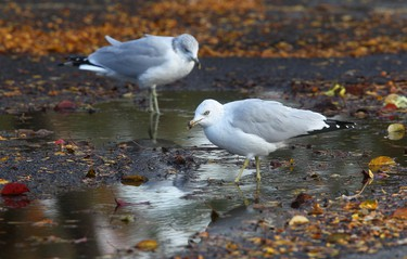 Two seagulls look for a drink among the downed leaves Sunday Oct 7, 2012.   Tony Caldwell/Ottawa Sun/QMI Agency