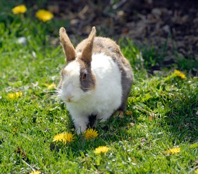 One of Canmore's numerous feral rabbits eats dandelions. The fall/ winter trapping program has captured 500 rabbits since it started two years ago. File photo
