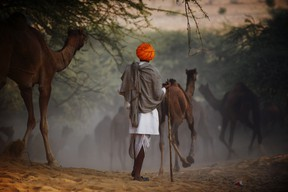 A herder follows his camels down a sandy embankment as they make their way to the camel fair grounds in the outskirts of the small town of Pushkar on November 22, 2012. Thousands of livestock traders from the region come to the traditional camel fair where livestock but mainly camels are traded. The annual five-day camel and livestock fair is one of the world's largest camel fairs.  AFP PHOTO/Roberto Schmidt