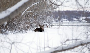 A moose beds down in the back corner of a farmyard in the Sexsmith area last week. The large animals are a common sight in the Peace and motorists are reminded to watch out for wildlife when travelling the area highways and backroads this winter. (Randy Vanderveen Special to Peace Country Sun)