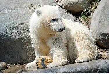 Hudson the polar bear is moving to Winnipeg's Assiniboine Park Zoo. He's shown here at nine months old. (HANDOUT/Toronto Zoo)