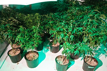 The Edmonton Police Service Green Team is on scene at a marijuana grow operation at 109 Street and 72 Avenue in Edmonton, Alta., on Thursday, Feb. 14, 2013. An estimated 140 plants were seized from the house. Codie McLachlan/Edmonton Sun/QMI Agency