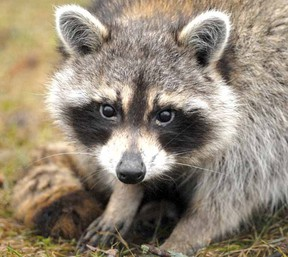 A young raccoon casts a wary gaze at traffic on Britannia St. in this photo from March 2011. (SCOTT WISHART The Beacon Herald)