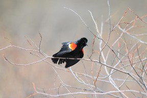 A male red-winged blackbird has the distinctive red markings on its wings, while the females are much less colourful, being brown in colour. (Peace Country Sun file photo)