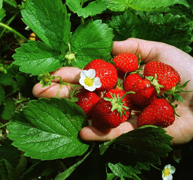 A file photo of strawberries.