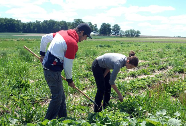 Eli Rudy, left, and Michelle Kaufman hoe the weeds out of strawberry garden by hand. (QMI Agency file photo)