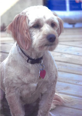 Bayley the cockapoo was killed by a bull mastiff/boxer mix dog on Imperial Street in Delhi on Monday, July 22. Bayley was on a leash walking with her owner at the time of the attack. The bull mastiff/boxer was not leashed. (Contributed photo)