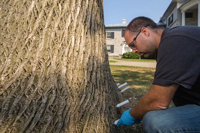 Matthew Barrett, grounds manager for Queen's University and a certified arbourist, applies 26 injections as part of the university's treatment program against the emerald ash borer on campus.  Sam Koebrich for The Whig-Standard