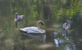 Still wearing the downy grey feathers of young birds, two trumpeter swan cygnets and their mother, Serena III, float on the sun-dappled surface of Pinafore Lake, Wednesday. St. Thomas. Eric Bunnell/QMI Agency/Times-Journal