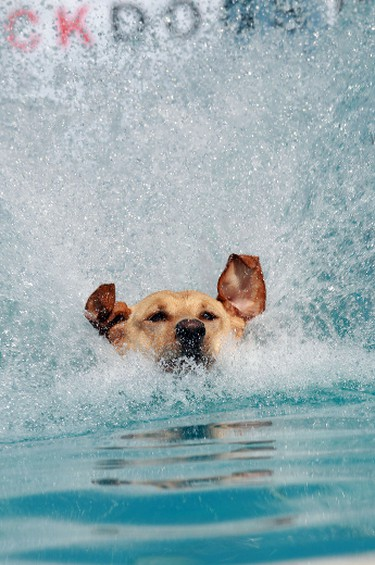 Jagger, a 1 year old Golden Lab makes a splash during the Alberta Dock Dogs Super Splash jumping competition at Cabela's parking lot in Edmonton, Alberta on Saturday, August 17, 2013.  Perry Mah/Edmonton Sun/QMI Agency