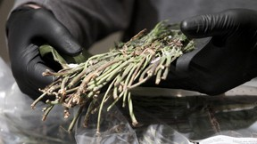 Calgary border officials arrested a husband and wife after discovering they were trafficking opium, used to make heroin, into Canada using coffee thermoses. Border Services agents also discovered about 29 kg of khat and 3 kg of opium in two separate seizures at the Calgary International Airport early last year.  Lyle Aspinall/QMI Agency